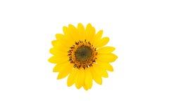 Mini fiore del sole Fotografie Stock