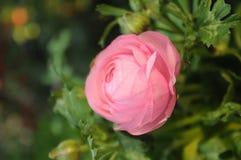 Mini flor cor-de-rosa Fotos de Stock Royalty Free