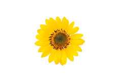 Mini flor del sol Fotos de archivo