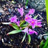 Mini flores rosadas del jacinto Fotos de archivo