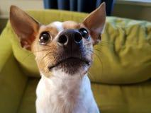 Mini Fox Terrier lizenzfreies stockbild