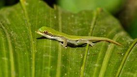 Mini gecko image stock