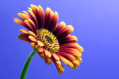 Mini Gerbera. Blue background stock photo