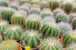 Mini giacimento del cactus immagine stock libera da diritti