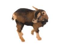 Mini goat Stock Images
