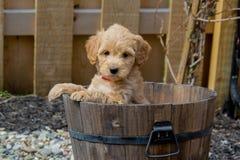 Mini Goldendoodle-puppy die cuteness tonen royalty-vrije stock afbeelding