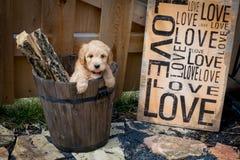 Mini Goldendoodle-puppy met liefdeteken royalty-vrije stock foto