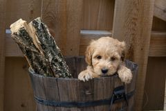 Mini Goldendoodle-Welpe in einem Eimer mit Klotz lizenzfreie stockfotos