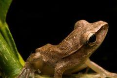Mini grenouille Image libre de droits