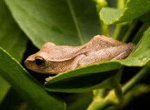 Mini grenouille Images libres de droits