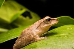 Mini grenouille Photo libre de droits