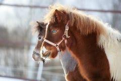 Mini- häst Arkivfoton