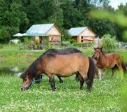 Mini- hästar för Falabella föl som betar på en grön äng som är selektiv Royaltyfria Bilder