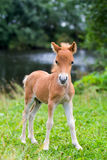 Mini horse Stock Images