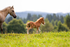 Mini horse. Foal mini horse Falabella walking Royalty Free Stock Photos