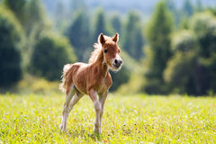 Mini horse. Foal mini horse Falabella stay Royalty Free Stock Photos