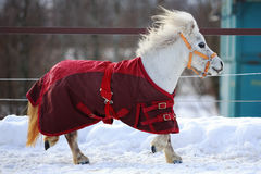 Mini Horse. White mini Horse in winter Stock Photos