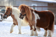 Mini horse. Two mini Horse in winter Royalty Free Stock Image