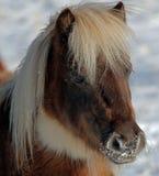 Mini Horse Royaltyfri Fotografi