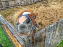 Mini Horse Immagini Stock