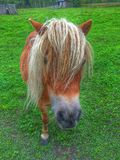 Mini Horse fotografie stock libere da diritti