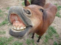 Mini Horse e sorriso massiccio fotografia stock libera da diritti