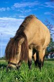 Mini horse eating grass. Miniature horse with long mane eating grass Royalty Free Stock Photos