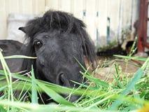 Mini Horse Falabella Miniature Eating Grass. Closeup Mini Horse Falabella Miniature Eating Grass Stock Images