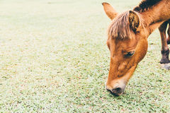 Mini horse graze on meadow Stock Images