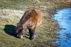 Free Mini Horse Grazes In Field. Stock Photography - 112627362