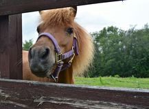 Mini Horse Poking its Head through the Fence at a Local Farm for a Better View Stock Photos