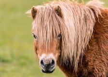 Mini Horse Looking al Camers Immagini Stock