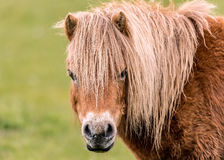 Mini Horse Looking at the Camers Stock Images