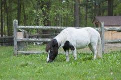 Mini Horse in Weiland royalty-vrije stock fotografie