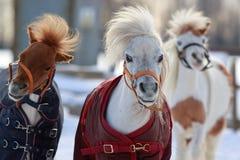 Mini horses Stock Photo