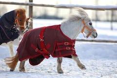 Mini Horses Royalty Free Stock Images