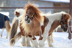 Mini Horses. Red mini Horses in winter Royalty Free Stock Images