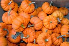 Mini Jack Pumpkins Stock Photo