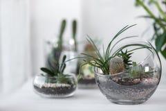 Mini jardín suculento en el terrario de cristal fotos de archivo