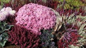 Mini jardin Rose rouge de floraison fleurissant doux Violet Chrysanthemums photo libre de droits