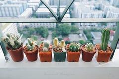 Mini kaktus Zdjęcia Stock