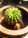 Mini kaktus Zdjęcie Stock