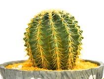 Mini kaktus na białym tle zdjęcia royalty free