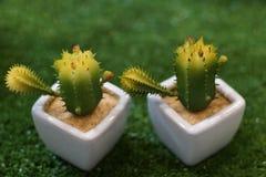 Mini kaktus w garnku drzewo jest bardzo silny Obraz Stock