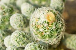 Mini kaktusowa kwiat fotografia nad naturalnym światłem 2 fotografia royalty free