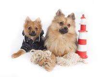 Mini wolfsspitz Royalty Free Stock Photography