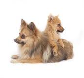 Mini wolfsspitz Royalty Free Stock Images