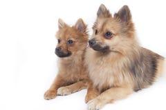 Mini wolfsspitz Royalty Free Stock Photos