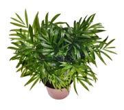 Mini- kokosnöt för tropisk växt hemma, kontor Fotografering för Bildbyråer