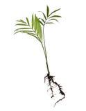 Mini- kokospalm Arkivfoton